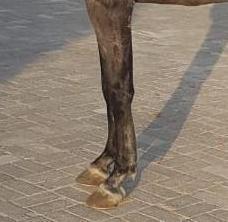 حصان فحل سباق واهو