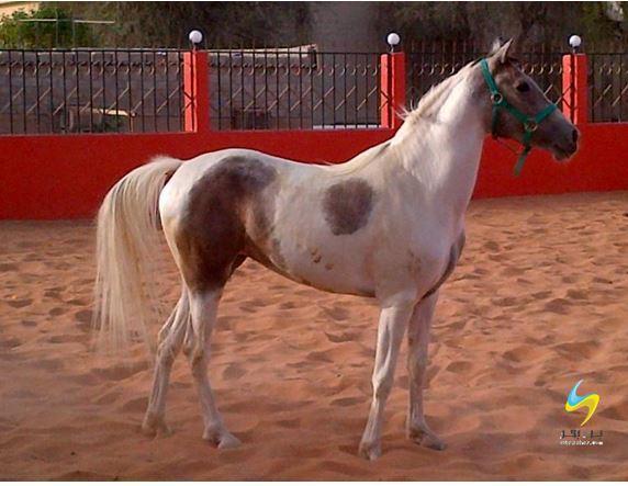 خيول للبيع
